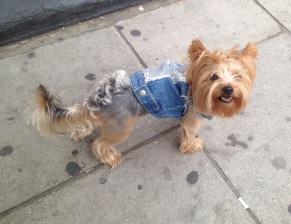 Chelsea Bun Terrier!