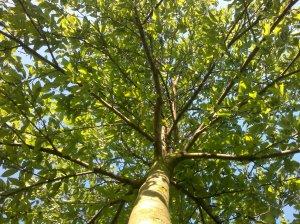 The Real Beep-Beep Tree. Kensington Gardens 18 05 2003