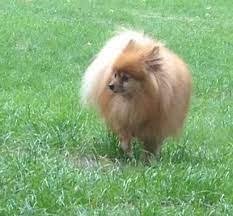 Pretty Pom-Pom the Pomeranian!