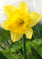 My first beautiful Daffodil of Springtime! 18th February 2021