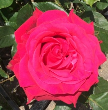 Fragrant Beautiful Red Summer Rose on a sunny Summer London day!